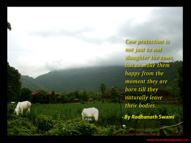 Cows quote #1