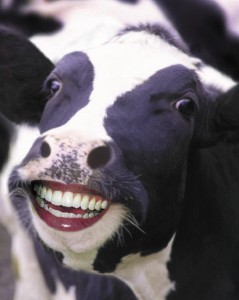 Cows quote #2