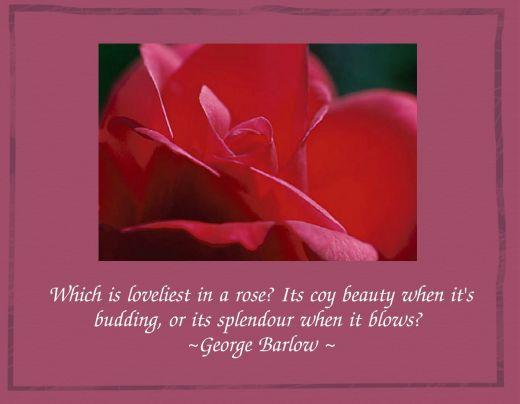 Rose quote #3