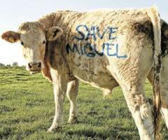 Cows quote #3