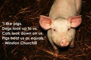 Pig quote #7