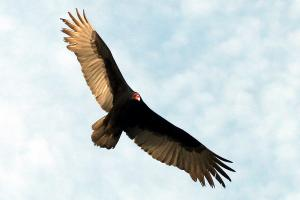 Vultures quote